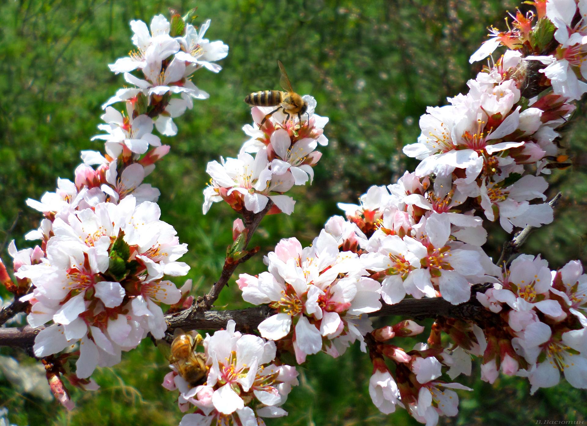 HDoboi.Kiev.ua - Цветущая китайская вишня, обои весна нежные