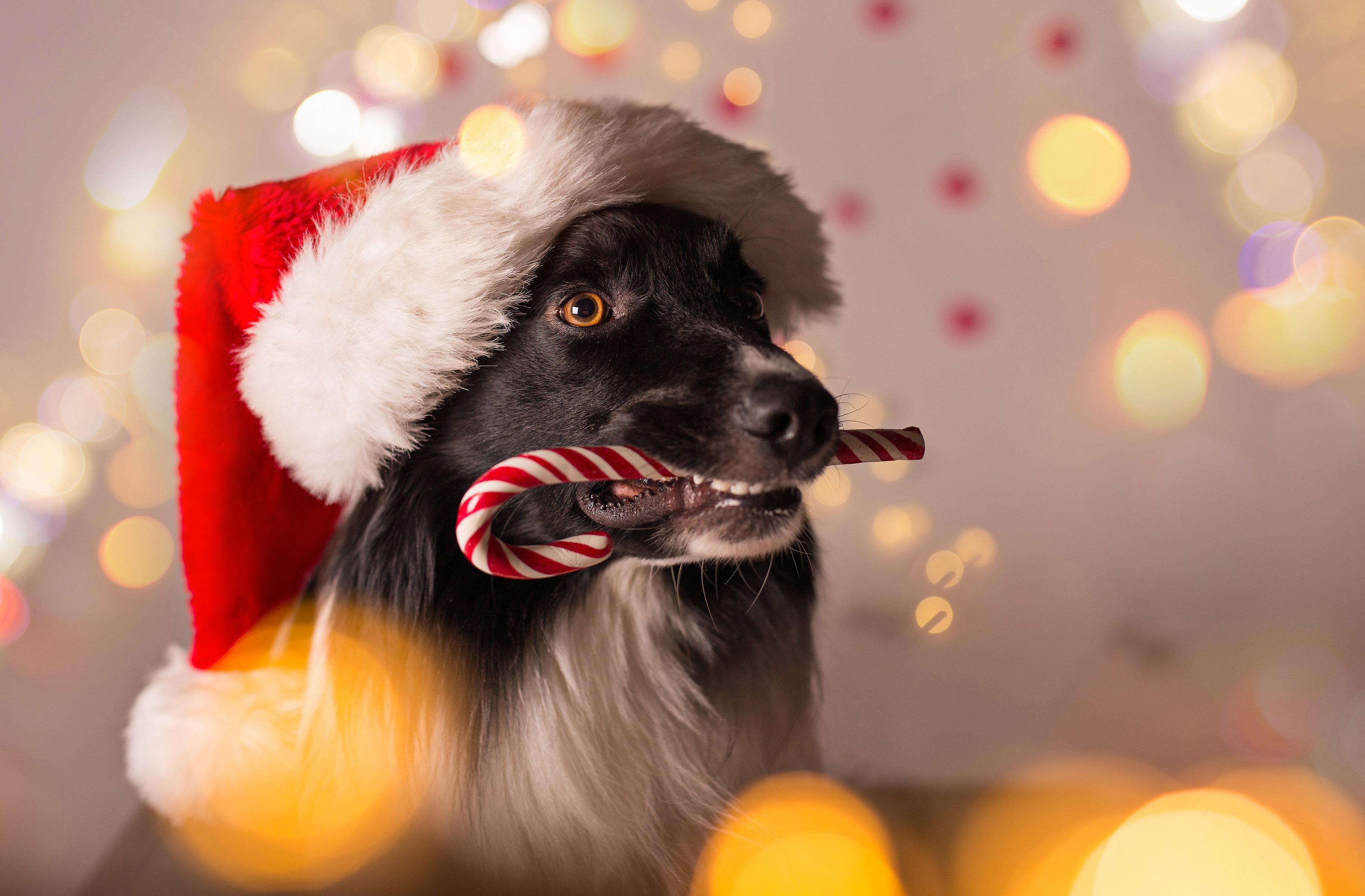 Собака в шапке Санта Клауса, новый год 2019 обои на рабочий, 3655 на 2400 пикселей