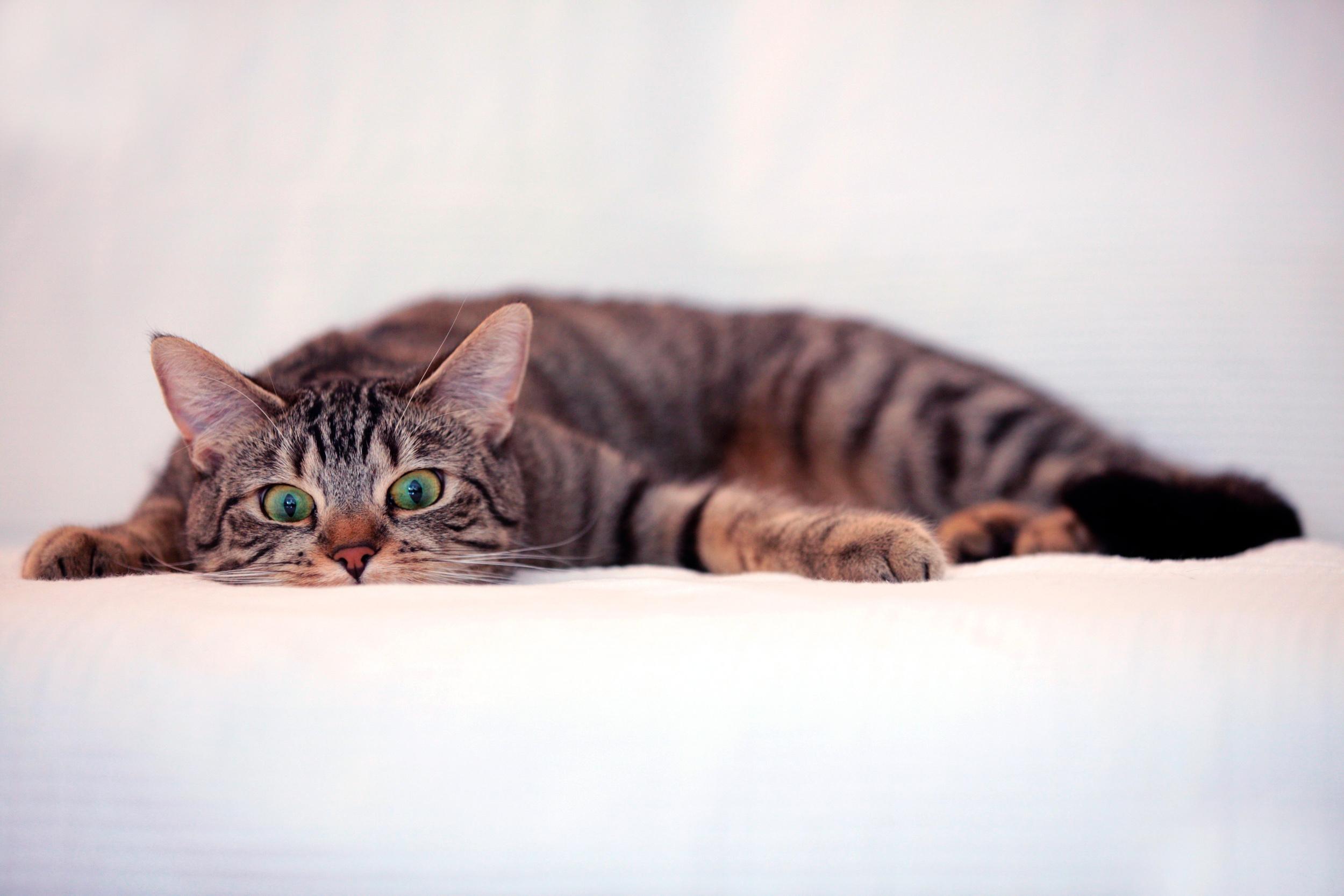 HDoboi.Kiev.ua - Зеленоглазый красивый кот, обои на компьютер коты