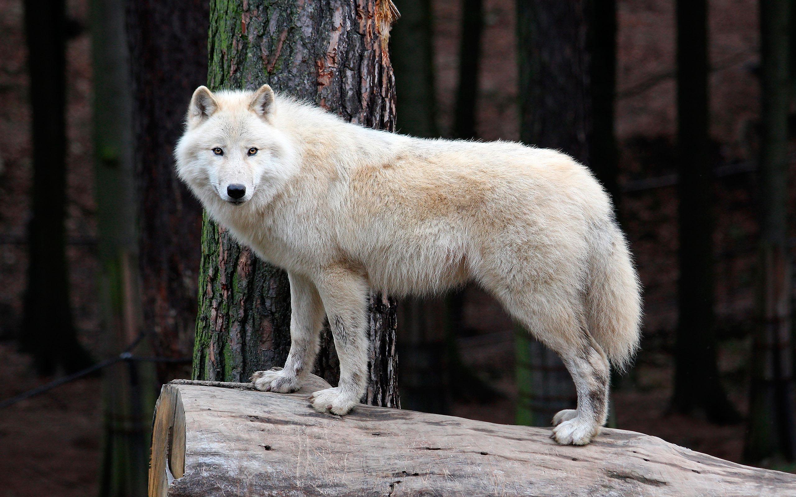 Большой белый волк, заставки про волков, 2560 на 1600 пикселей