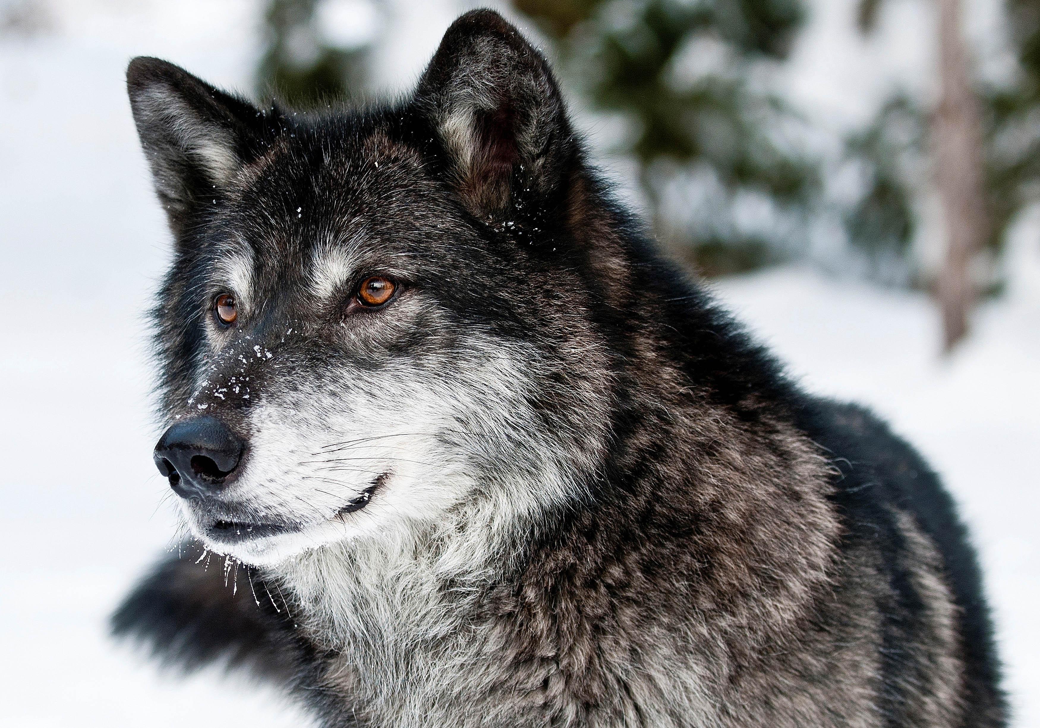 HDoboi.Kiev.ua - Большой серый волк зимой