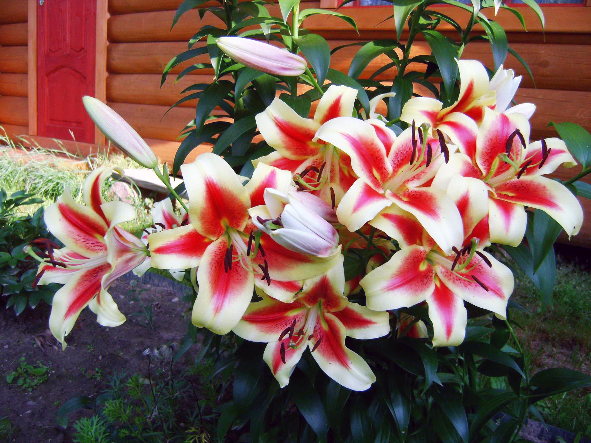 Лилия, обои на телефон природа цветы, hd заставки, 2048 на 1536 пикселей