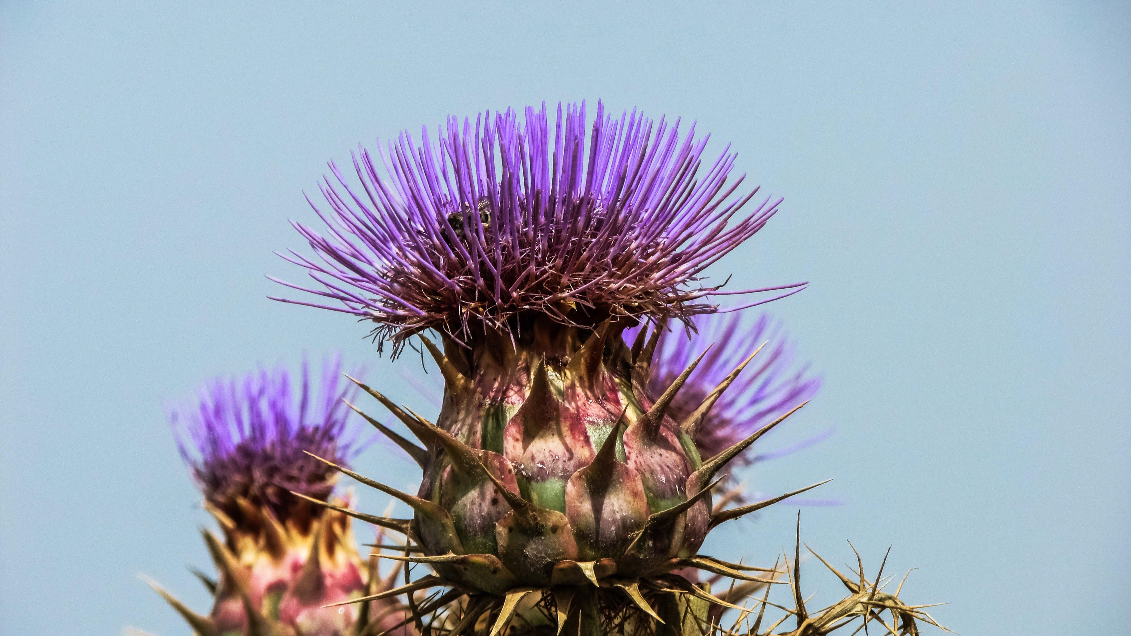 Испанский артишок, обои на рабочий стол фон цветы, природа 4k hd, 3840 на 2160 пикселей