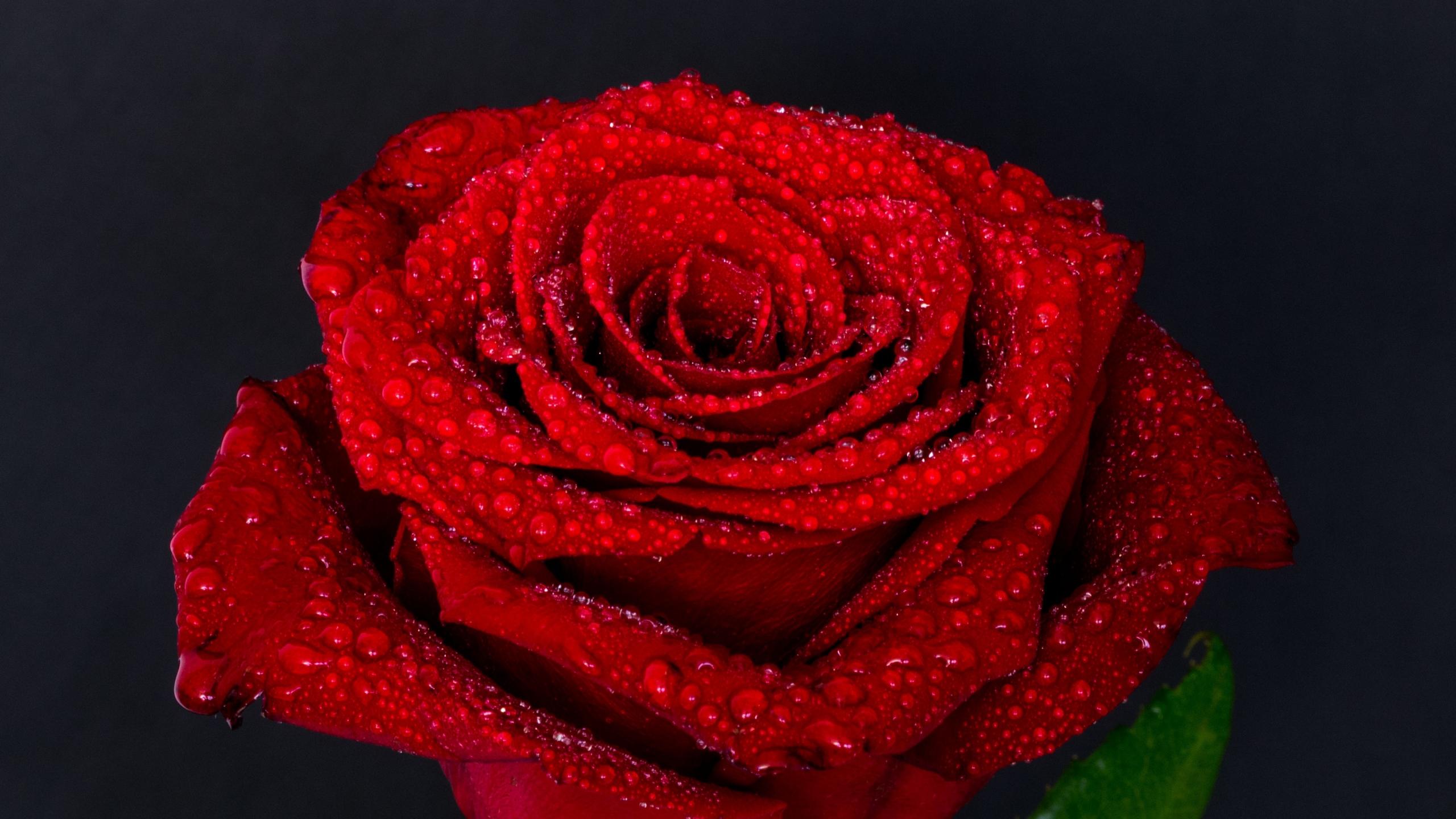Красная роза на черном фоне, обои цветов на рабочий стол вертикальные, 2560 на 1440 пикселей