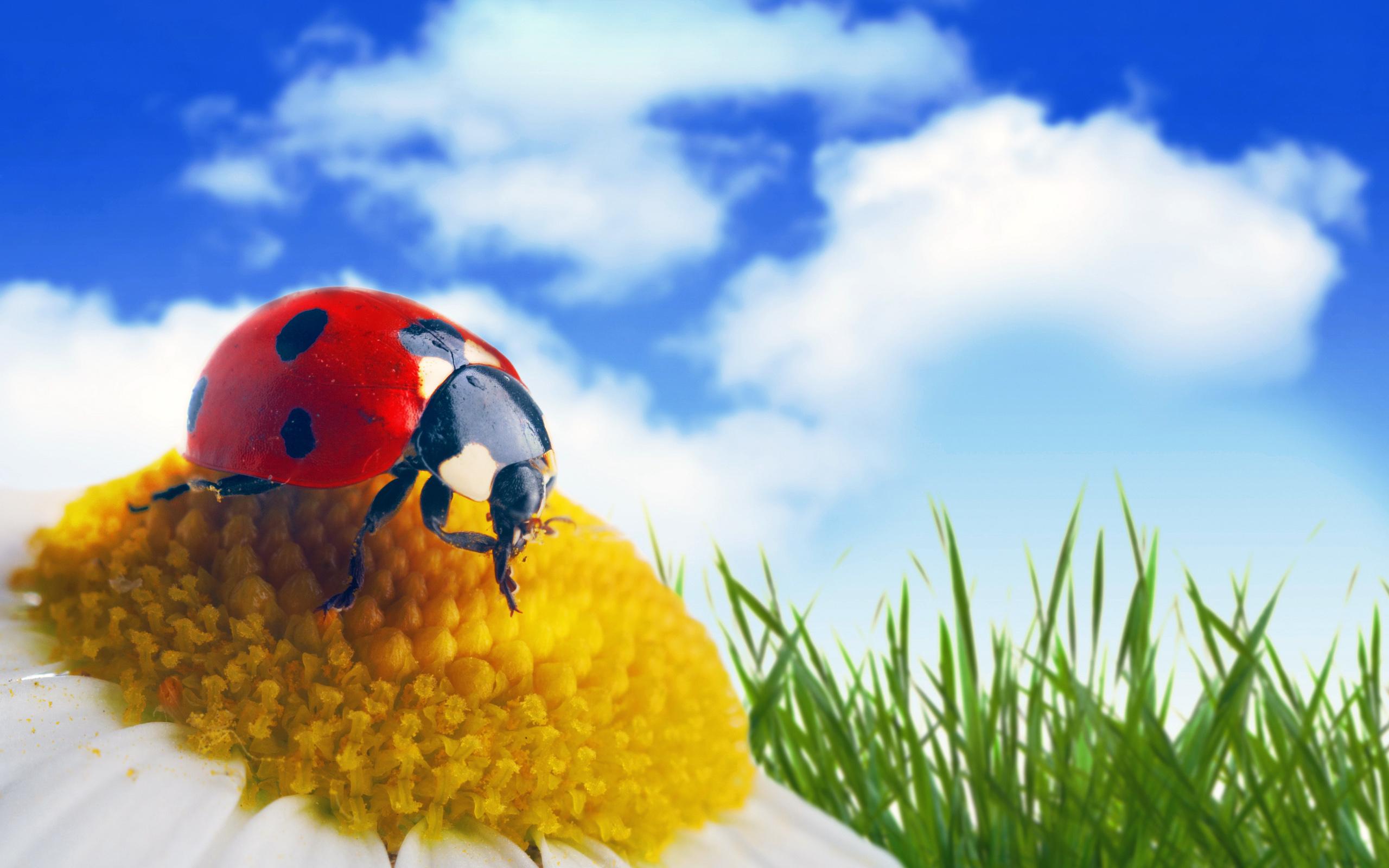 Божья коровка, комахи картинки скачать, насекомое жук обои, 2560 на 1600 пикселей
