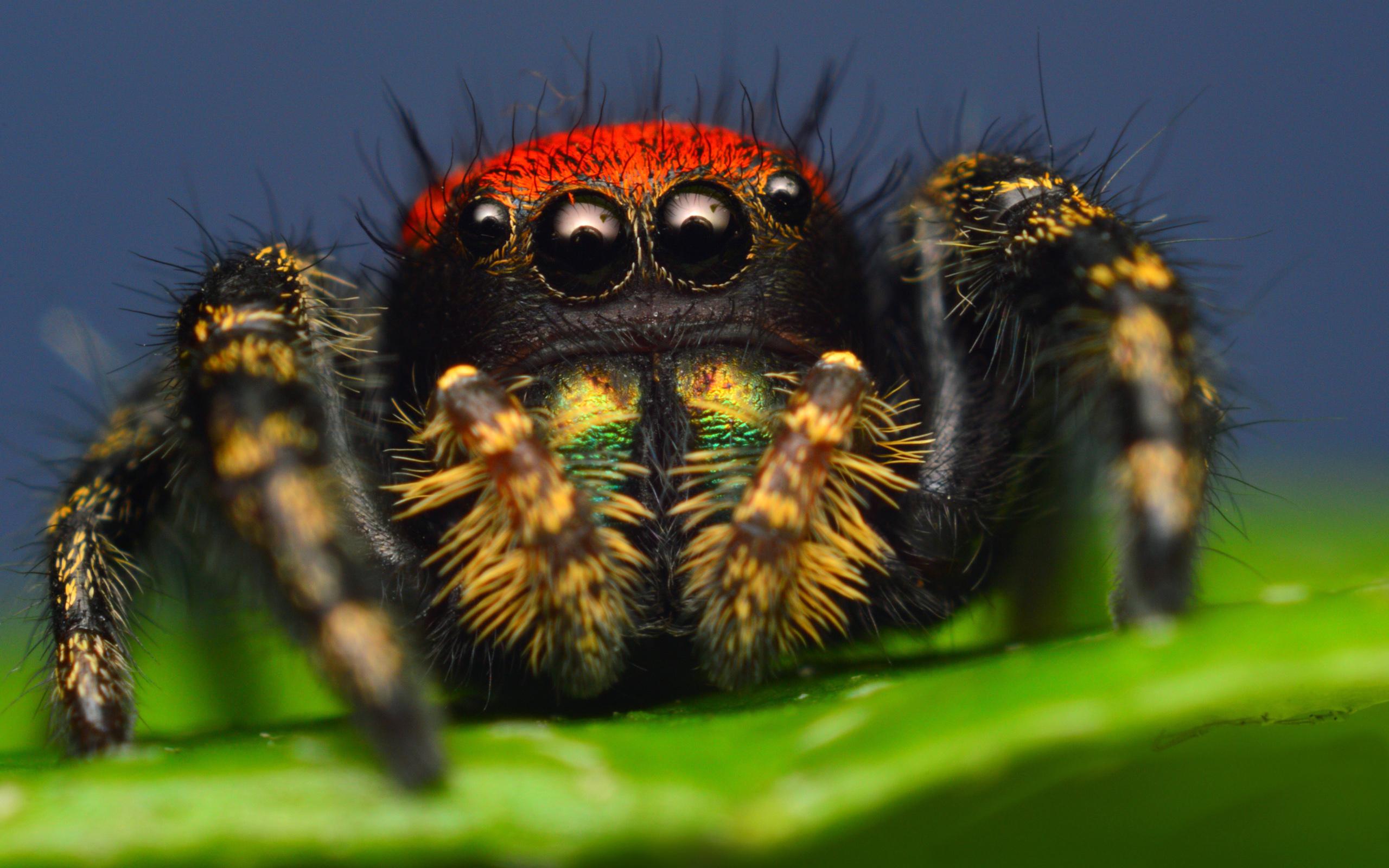 Паук скакун, насекомое паук картинки, макросъемка, животные, 2560 на 1600 пикселей