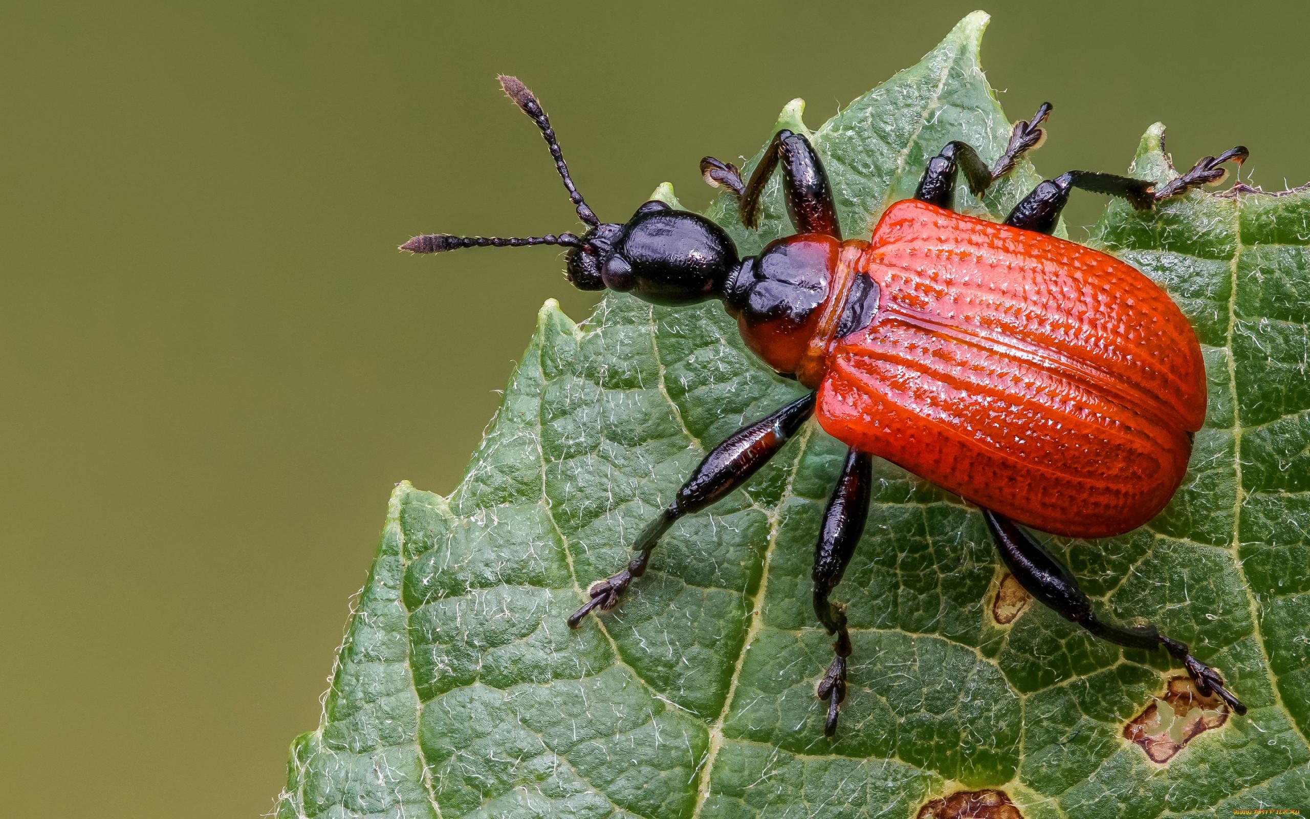 HDoboi.Kiev.ua - Красный жук на листе, заставки на телефон андроид животное