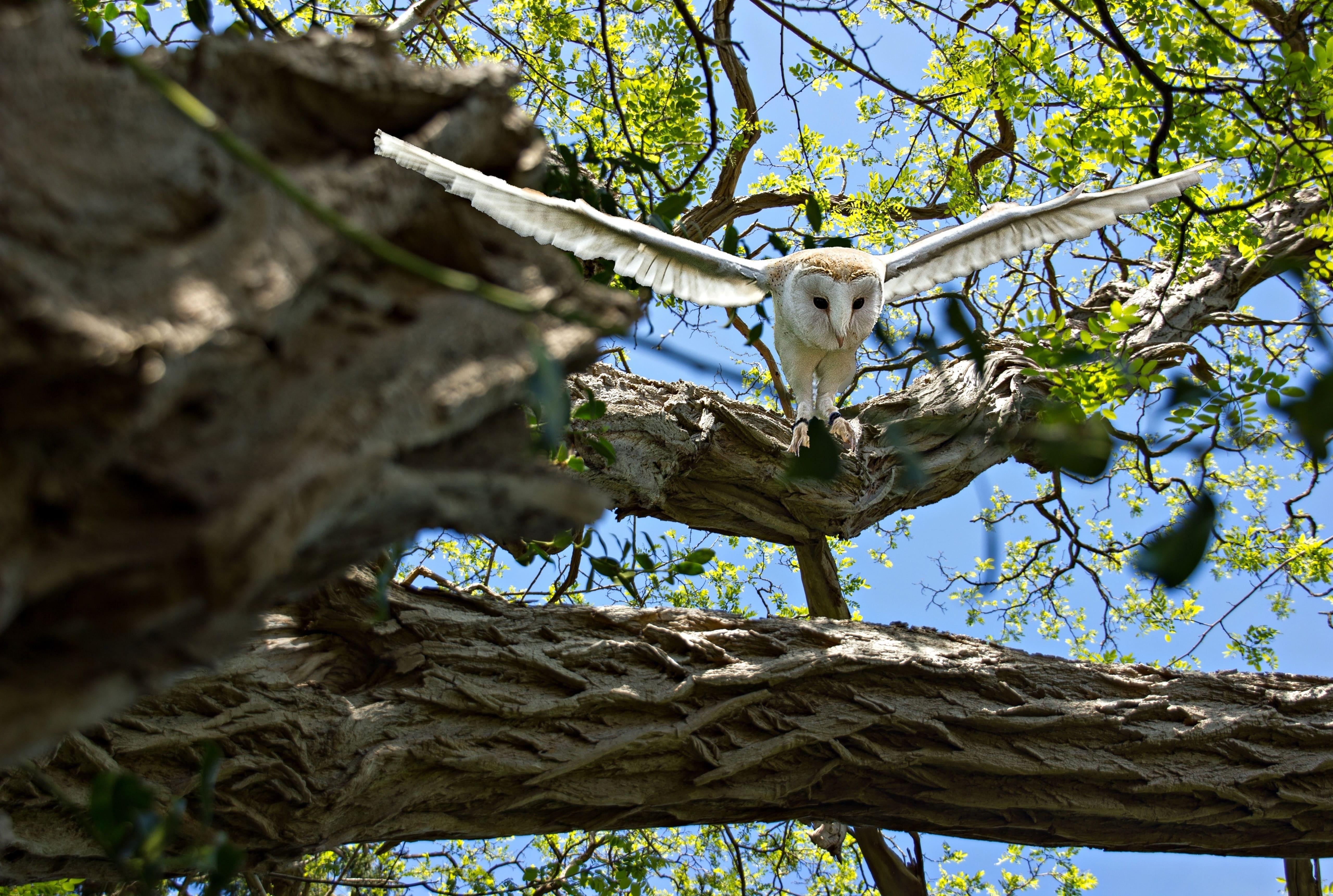 Большая белая сова взлетает с дерева, обои на телефон андроид птицы, 5120 на 3443 пикселей