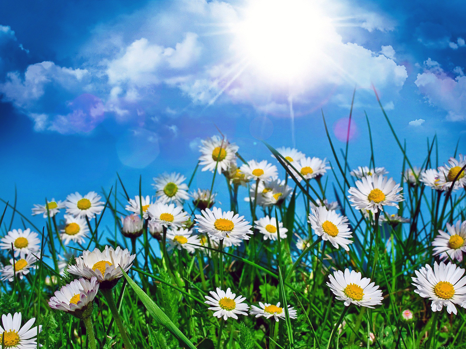 Ромашки под солнцем, бесконечное лето обои на андроид, 1600 на 1200 пикселей