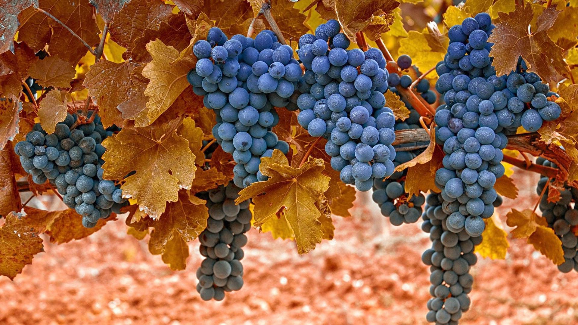 HDoboi.Kiev.ua - Осенние листья винограда, Grape leaves full hd