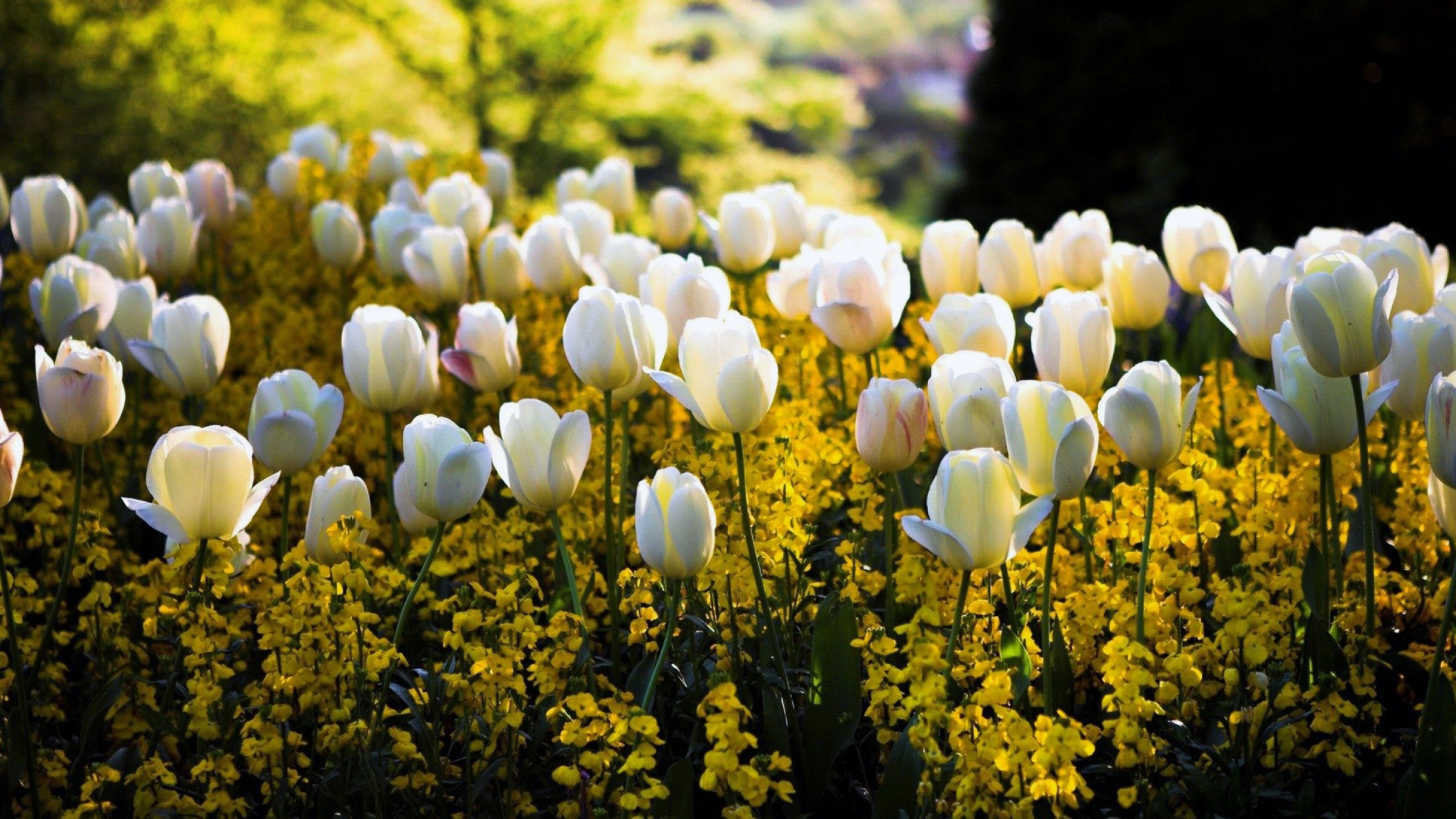 HDoboi.Kiev.ua - Белые тюльпаны, природа, цветы, времена года