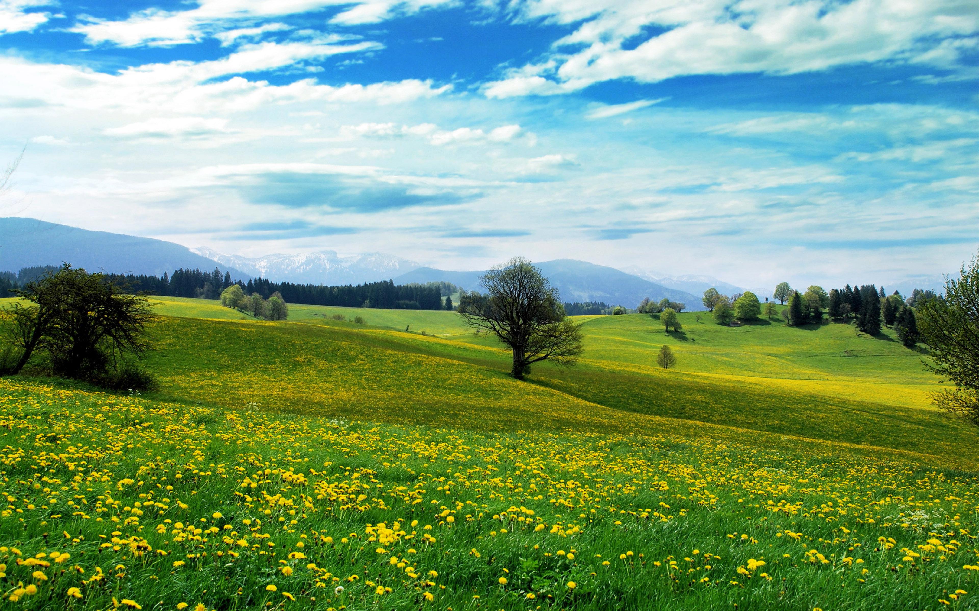 Большое поле одуванчиков под красивым небом весной, 3840 на 2400 пикселей