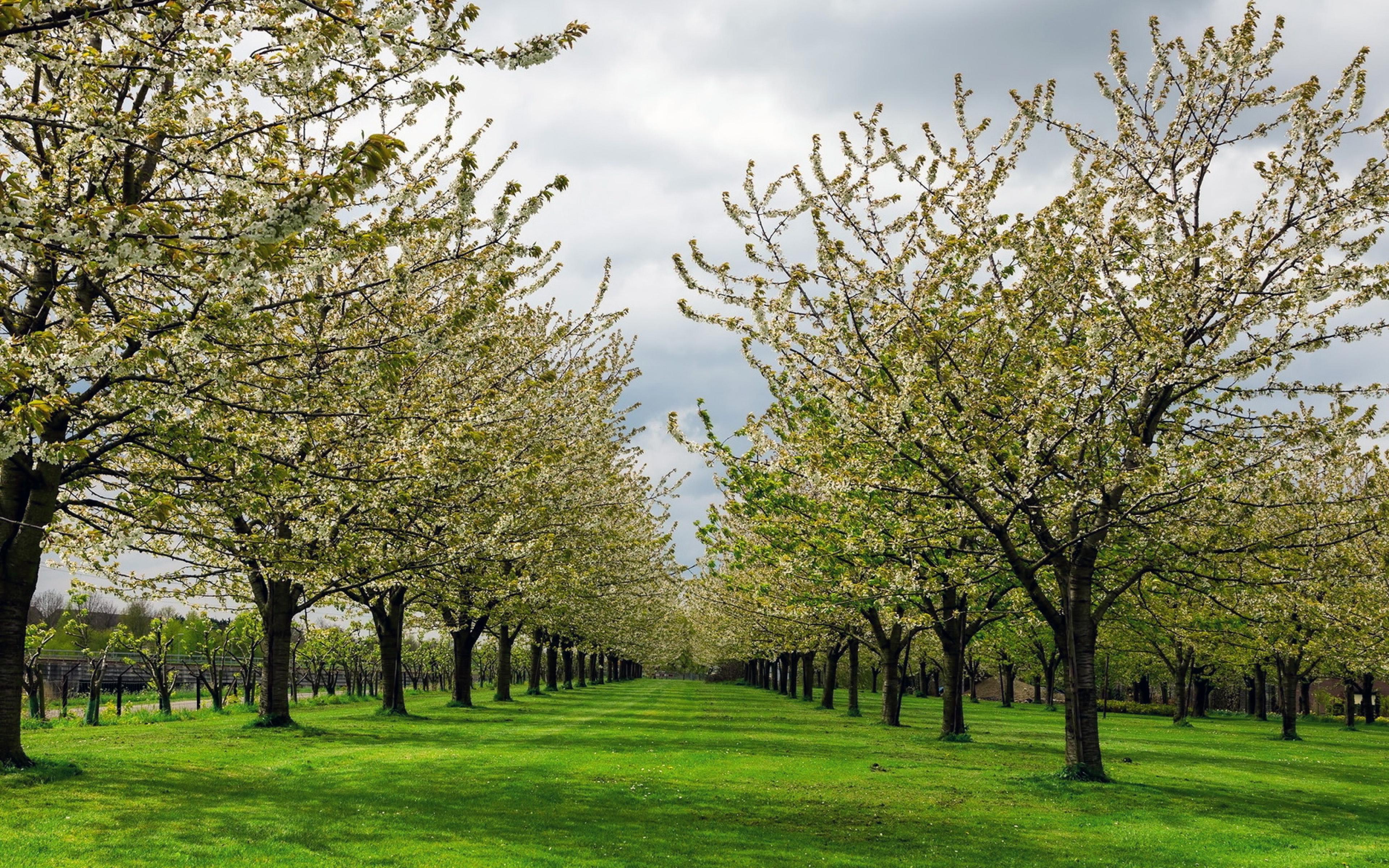 цветущий грушевый сад, природа, заставки на рабочий стол весна большие, 3840 на 2400 пикселей