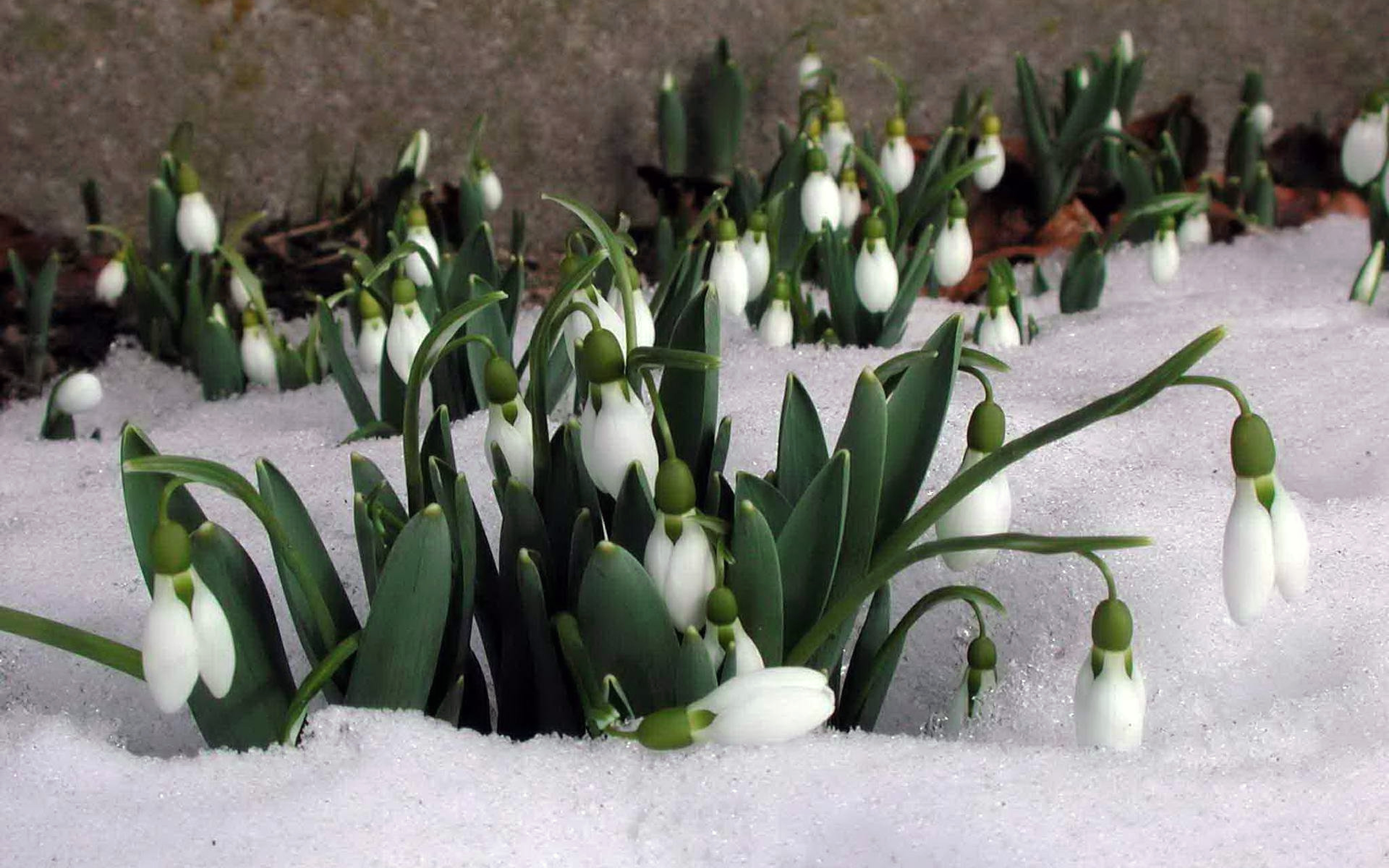 Подснежники 4K ultraHD под тающим весенним снегом, 3840 на 2400 пикселей