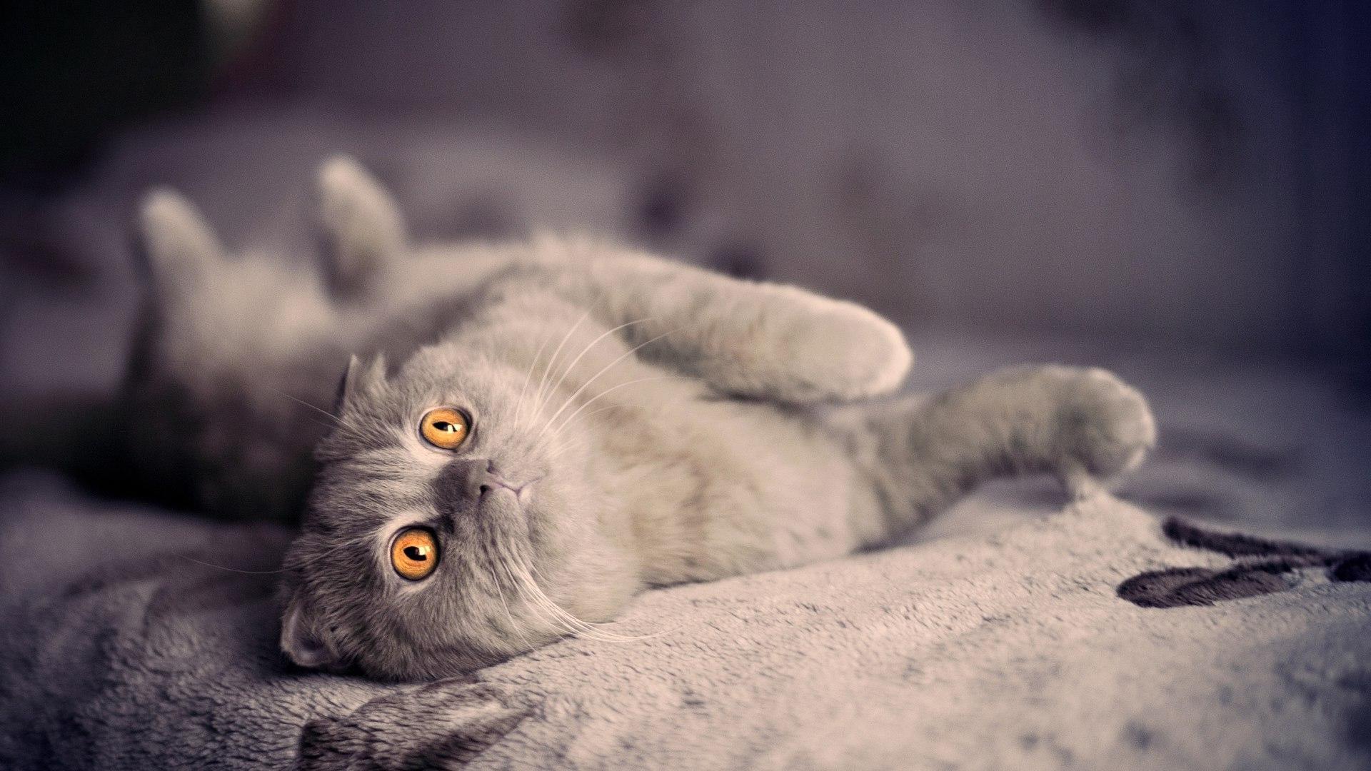 Шотландский вислоухий кот, заставка на айфон животные, 1920 на 1080 пикселей