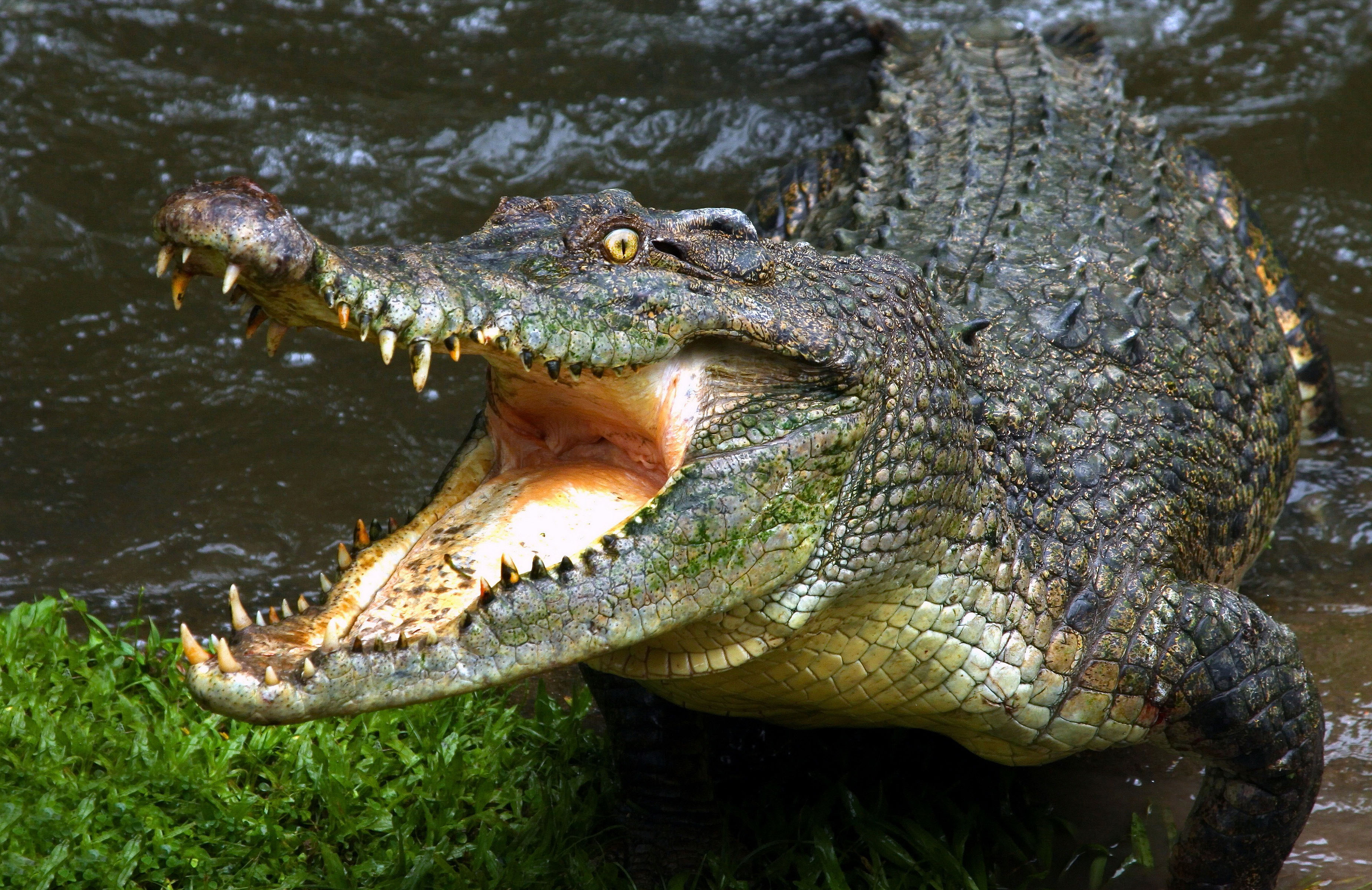 Огромный крокодил с большими зубами, картинки животных рептилии, 3700 на 2400 пикселей