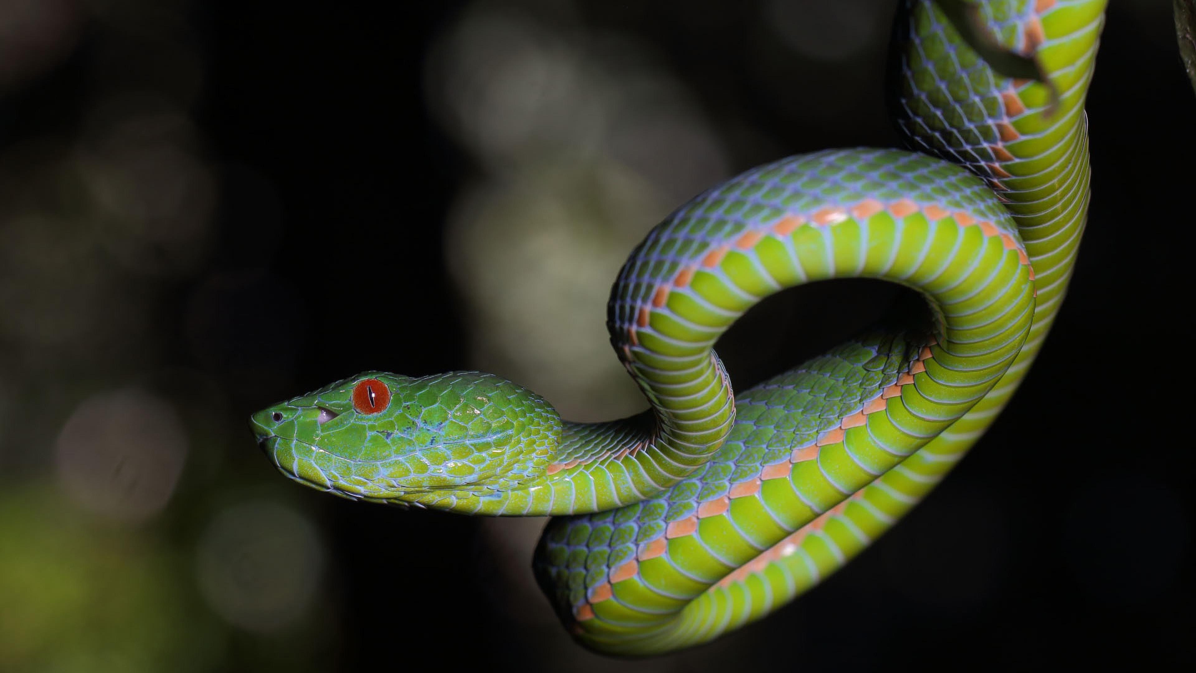 Зеленая гадюка с красными глазами, обои змеи на андроид, 3840 на 2160 пикселей