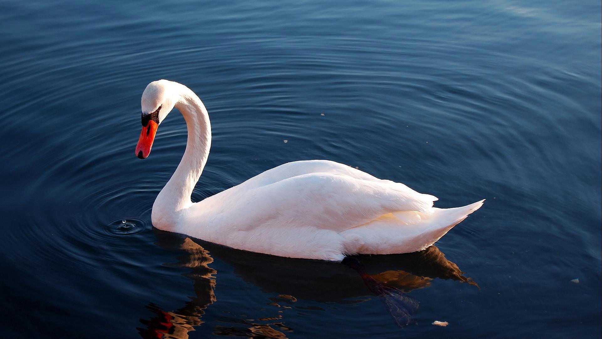 HDoboi.Kiev.ua - Белый лебедь, скачать обои птицы природа