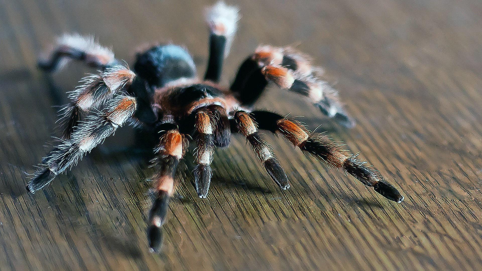 Ядовитый мохнатый паук, обои на смартфон пауки, 1920 на 1080 пикселей