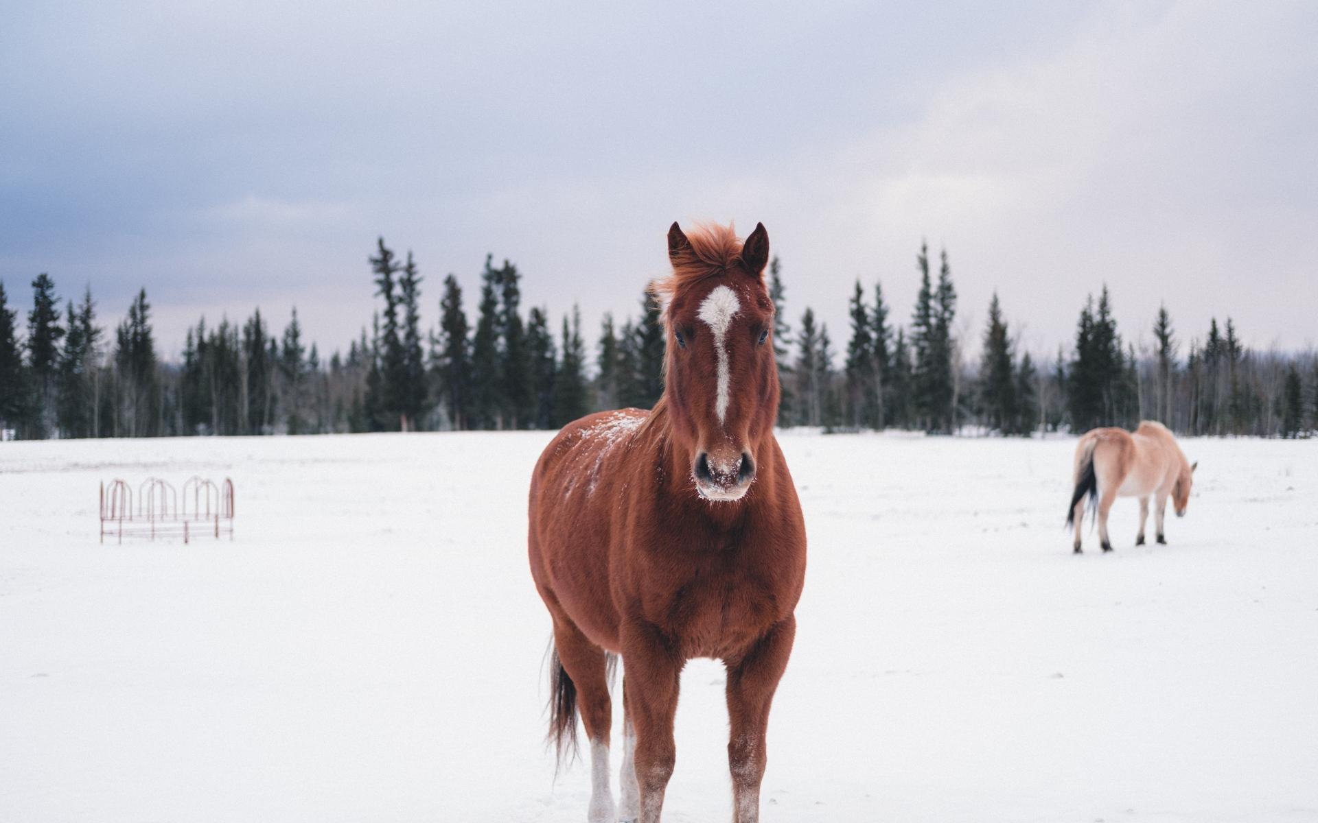 HDoboi.Kiev.ua - Коричневый конь зимой у леса, лошади зима обои