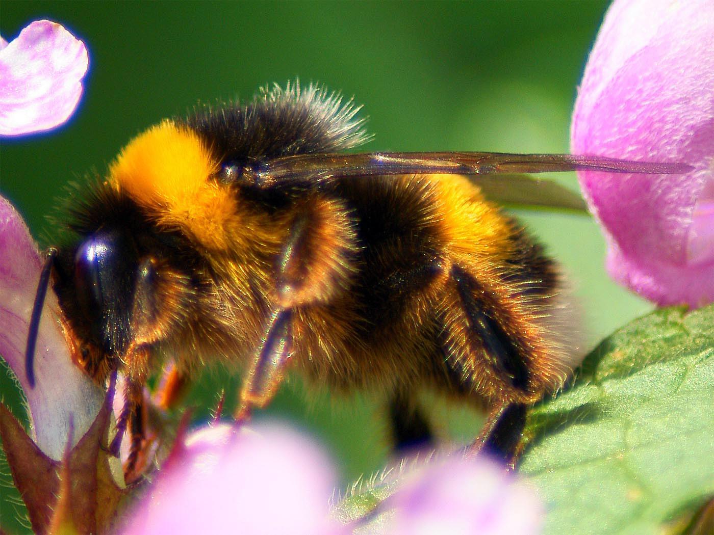 Шмель мохнатый, картинки природы насекомые, макро, животные, 1400 на 1050 пикселей
