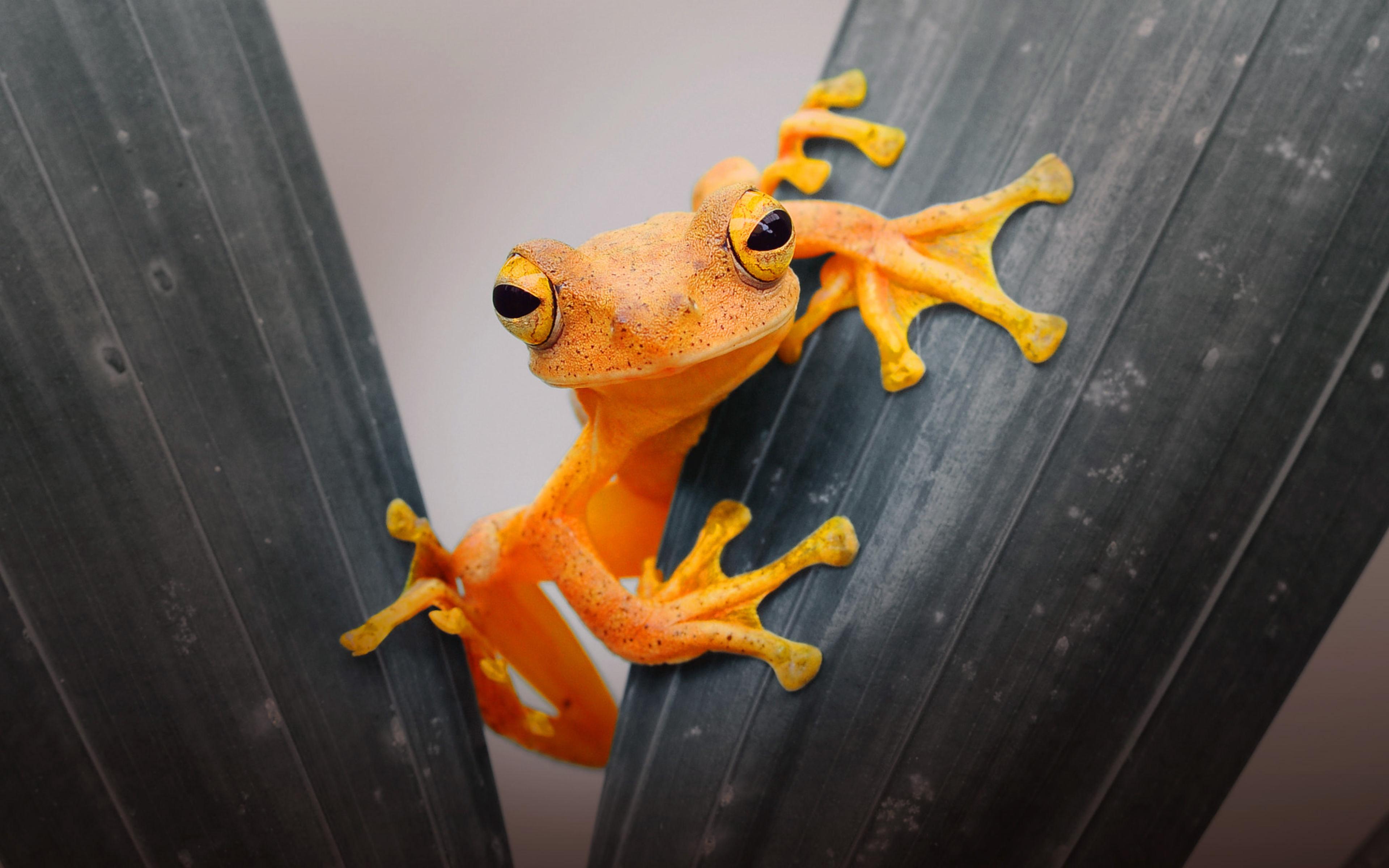 HDoboi.Kiev.ua - Оранжевая лягушка 4k ultra hd, фото жаба на обои