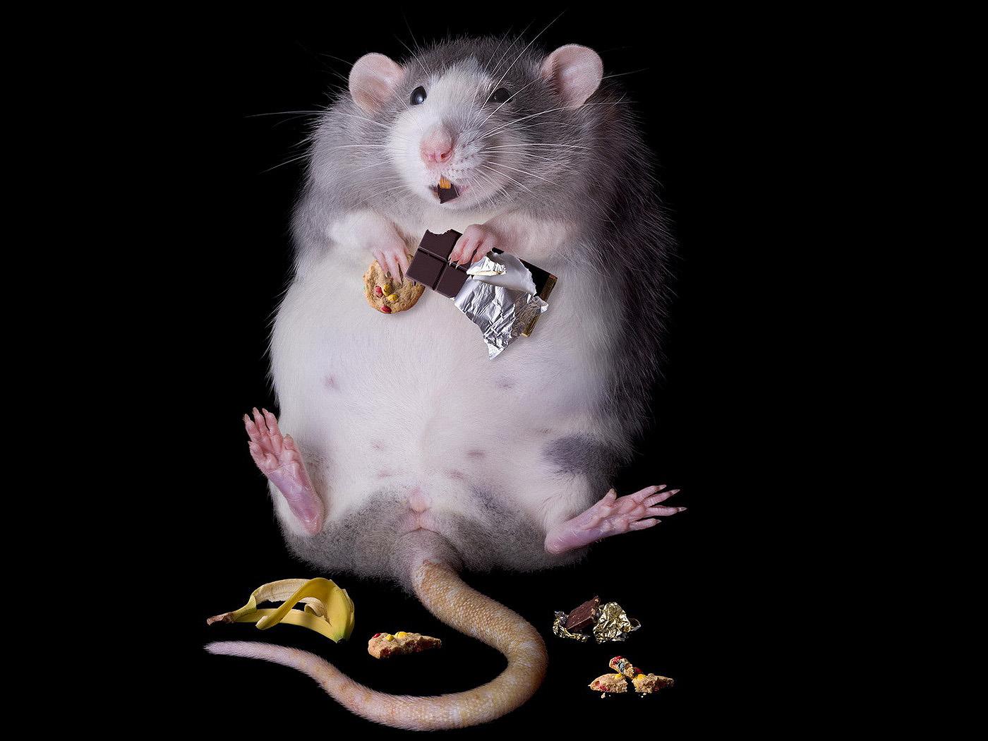 HDoboi.Kiev.ua - Толстая серая крыса, грызун, прикольные обои на телефон айфон
