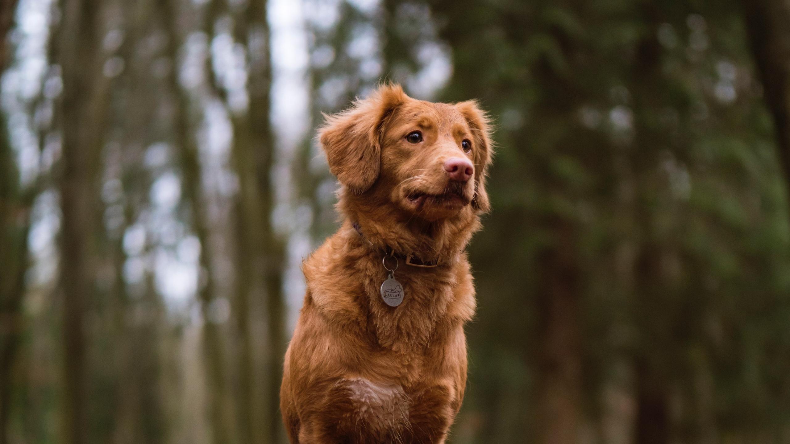 HDoboi.Kiev.ua - Рыжий пёс с моделью на шее, картинки обои на телефон собаки