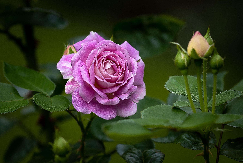 HDoboi.Kiev.ua - Розовая роза на клумбе, цветы, природа