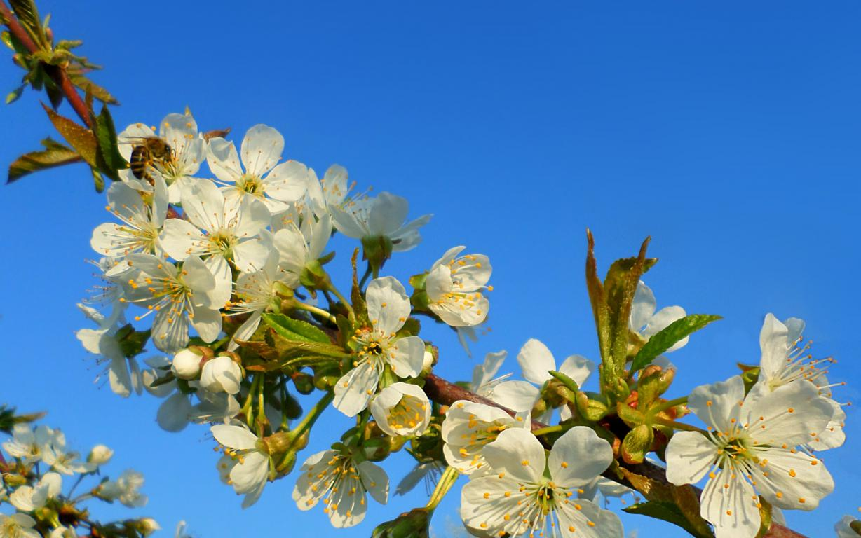 Цветущая черешня весной, обои весна апрель, 1920 на 1200 пикселей
