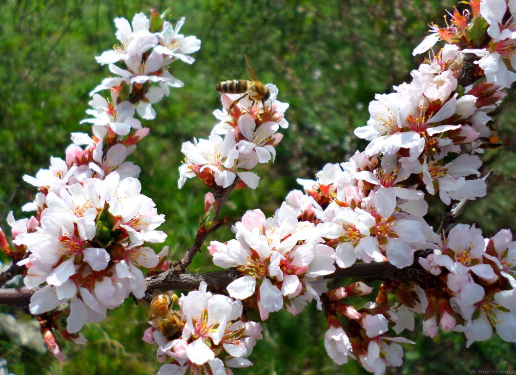 Цветущая китайская вишня, обои весна нежные, 1920 на 1395 пикселей