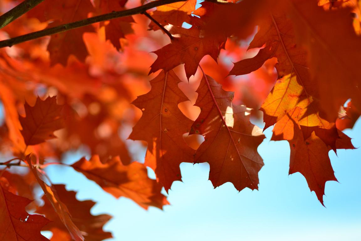 Яркие оранжевые листья дуба на дереве осенью, 4608 на 3072 пикселей