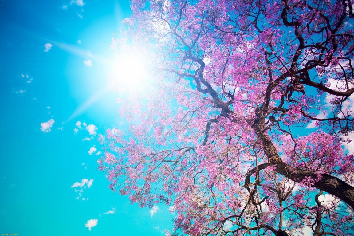 Цветущая сакура, обои для самсунг весна, 3000 на 2000 пикселей