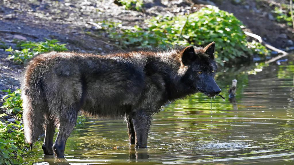 Большой черный волк у водоема, 5k ultra hd, 5120 на 2880 пикселей