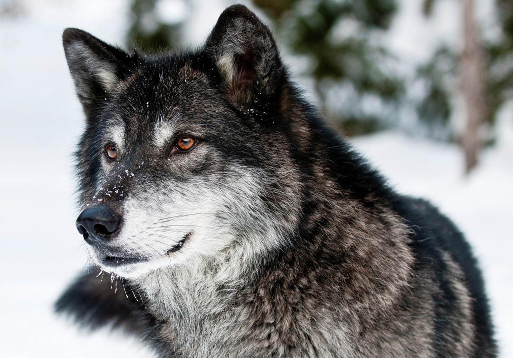 Большой серый волк зимой, 3500 на 2450 пикселей
