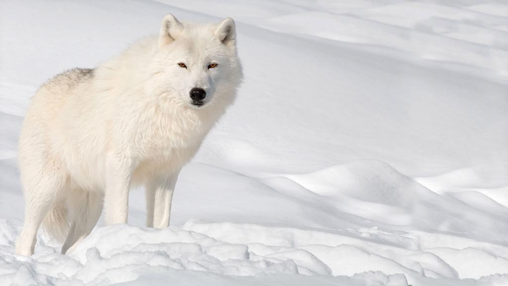 Красивый белый волк в снегу, 5k wallpapers for iphone, 3840 на 2160 пикселей