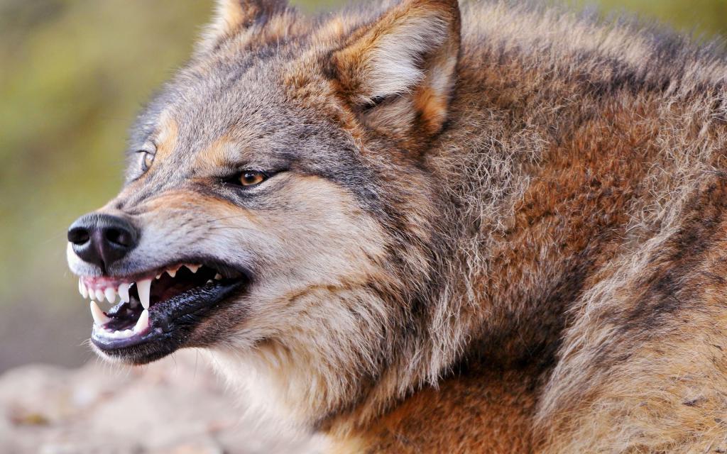 Оскал волка, клыки, острые зубы хищника, 2560 на 1600 пикселей