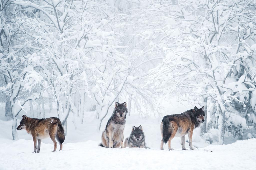 Стая диких хищных волков в лесу зимой, 3840 на 2560 пикселей