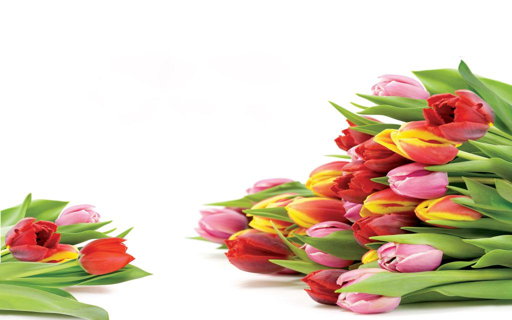 Тюльпаны на белом фоне к 8 марта, 2560 на 1600 пикселей