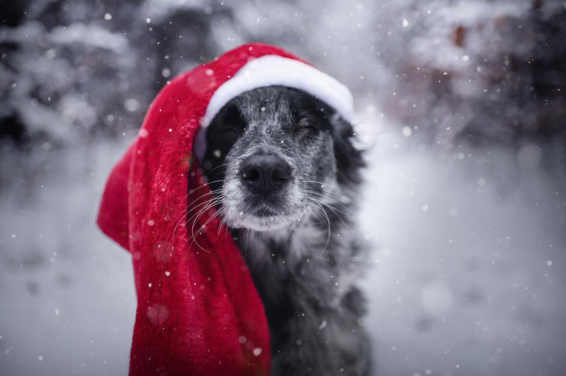 Собака в Новогодней шапке, новые обои 2018 года, 2045 на 1360 пикселей