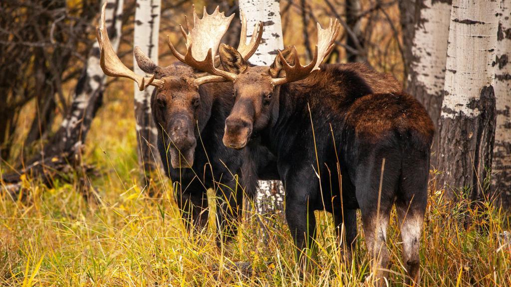 Два лося в осеннем березовом лесу, заставка на айфон осень, ultra hd 4k, 3840 на 2160 пикселей