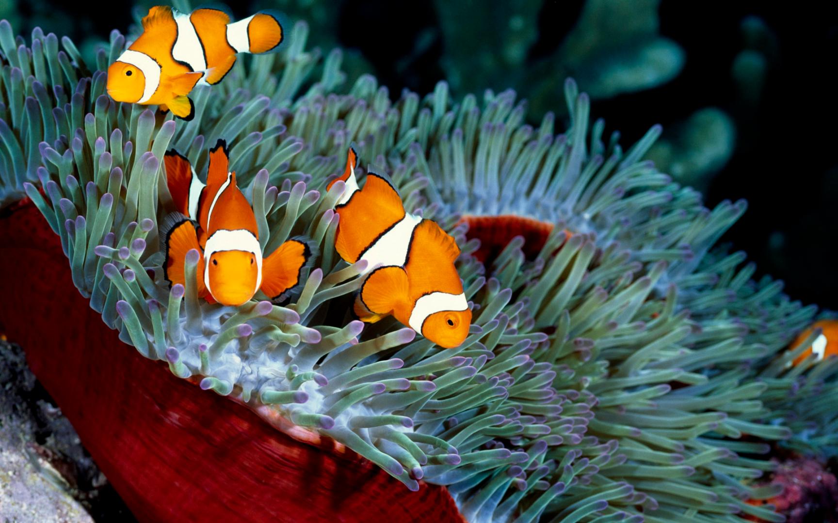 Рыба клоун обои, красивые обои животные милые, 1920 на 1200 пикселей