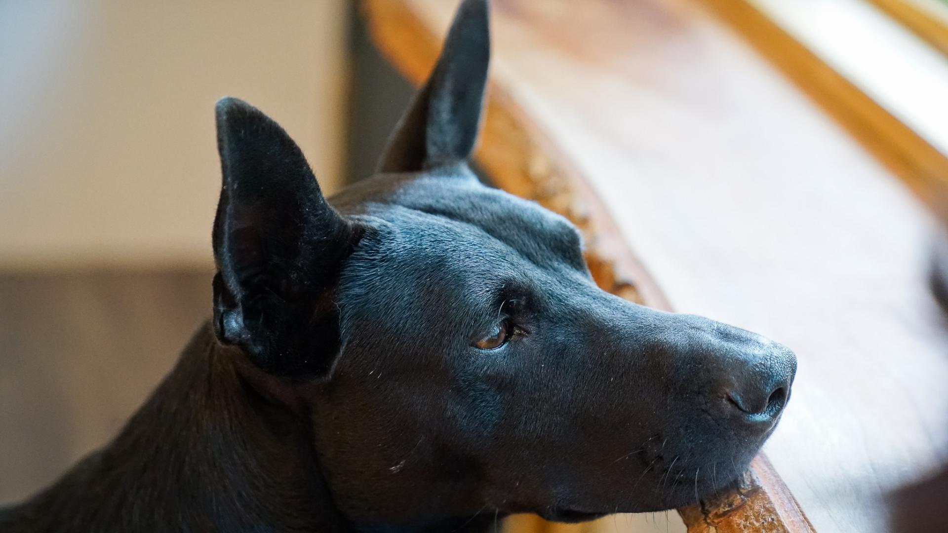 Черная собака смотрит в окно, обои собак hd, 3840 на 2160 пикселей