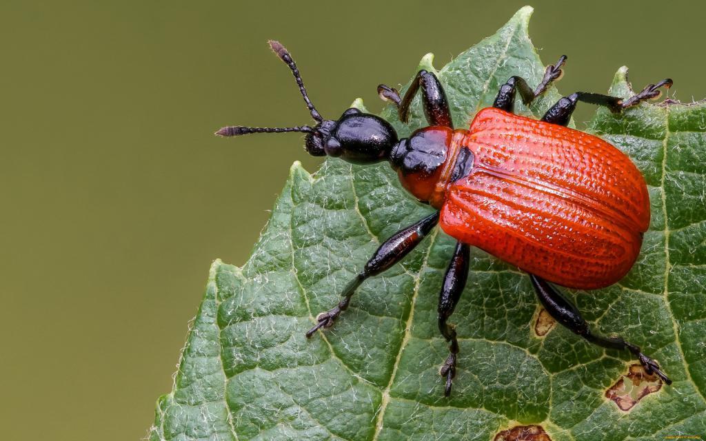 Красный жук на листе, заставки на телефон андроид животное, 2560 на 1600 пикселей