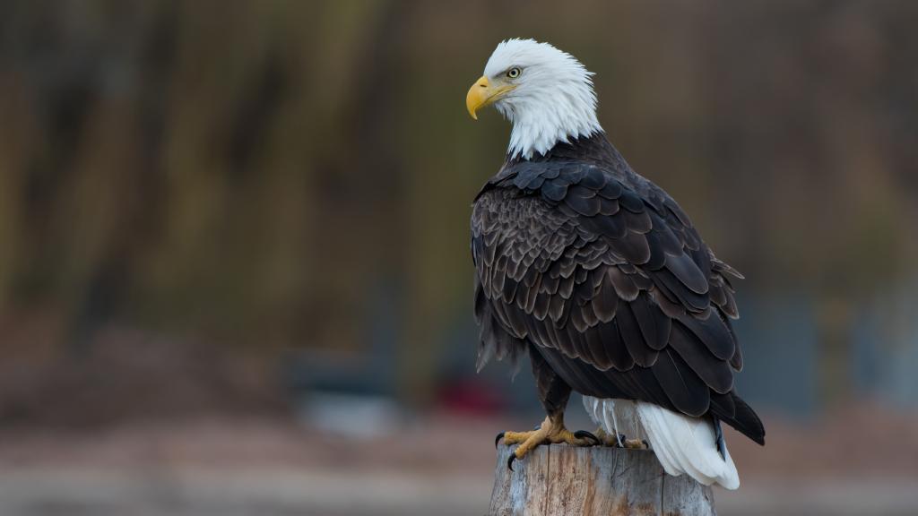 Белоголовый орлан хищная птица, 3840 на 2160 пикселей