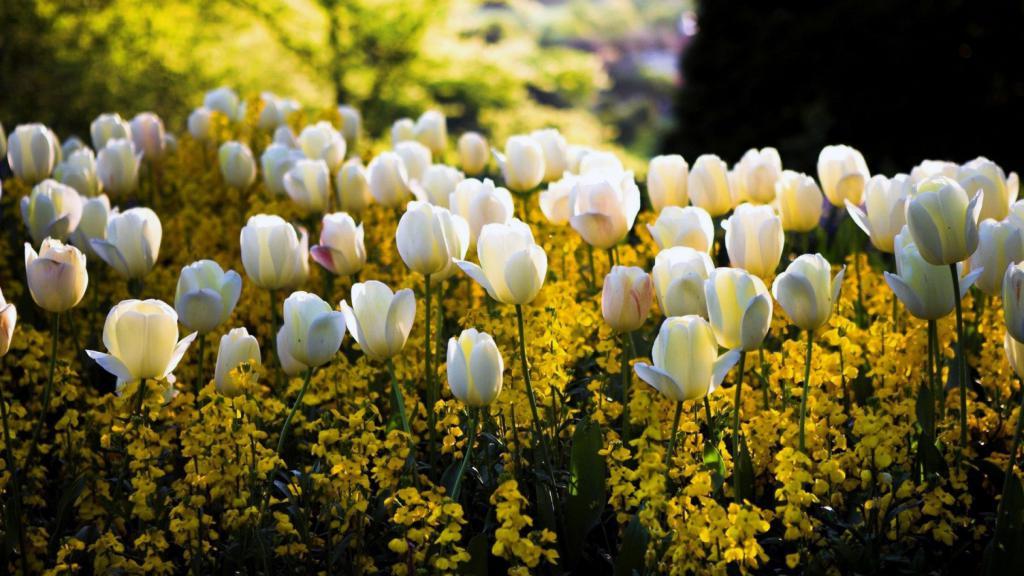 Белые тюльпаны, природа, цветы, времена года, 2400 на 1350 пикселей