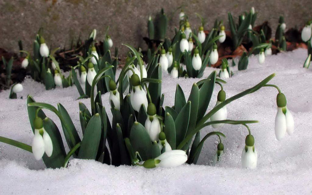 заставка весна подснежники под тающим весенним снегом, 3840 на 2400 пикселей