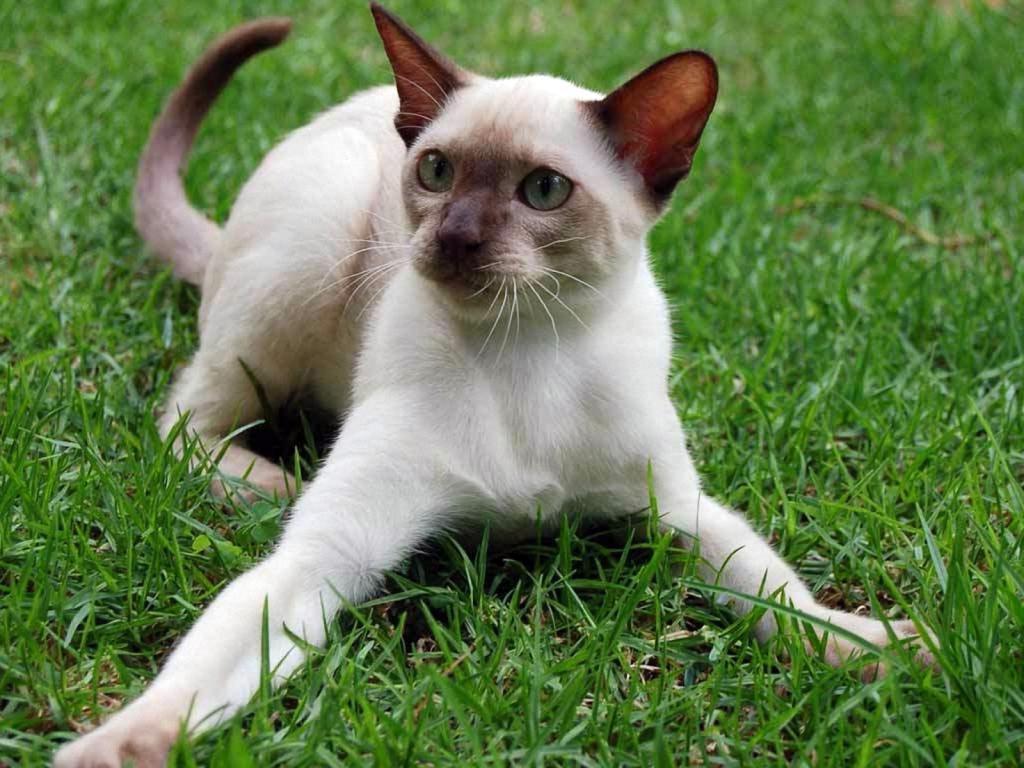 Белый сиамский кот на траве, cat wallpapers for phone, 1600 на 1200 пикселей