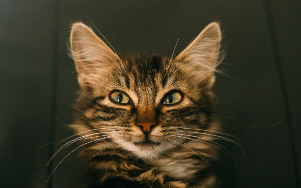 Хитрый взгляд кошки, скачать обои кот на андроид, 1920 на 1200 пикселей