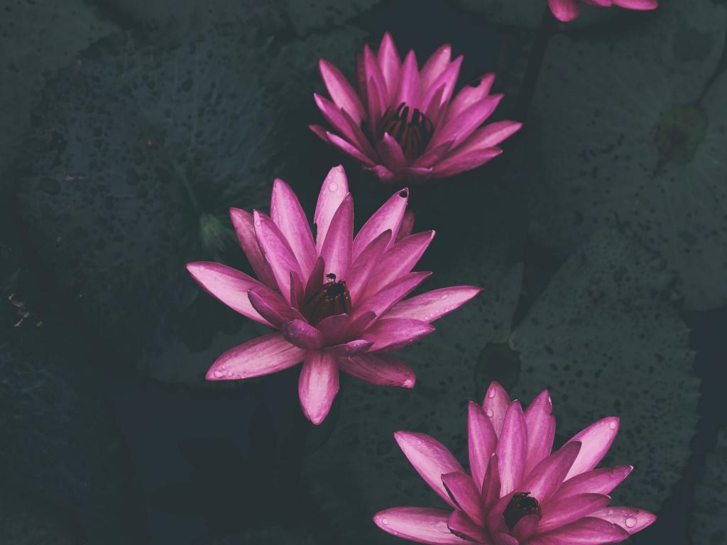 Розовый лотос, фон природа заставка, 3200 на 2400 пикселей